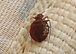 Bedbugs Becoming Resistant to Insecticides - Health Council