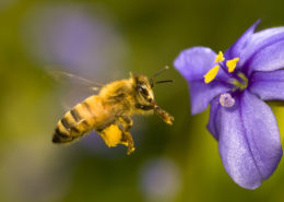 Honeybee's Picking Up a Large Amount of Pesticides via Non-Crop Plants - Health Council