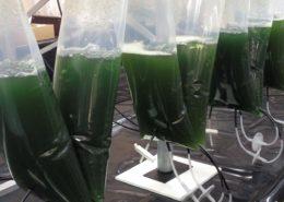 Modified Microalgae Converts Sunlight Into Valuable Medicine - Health Council